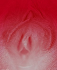 Close uo of female genitals that look like rose petals
